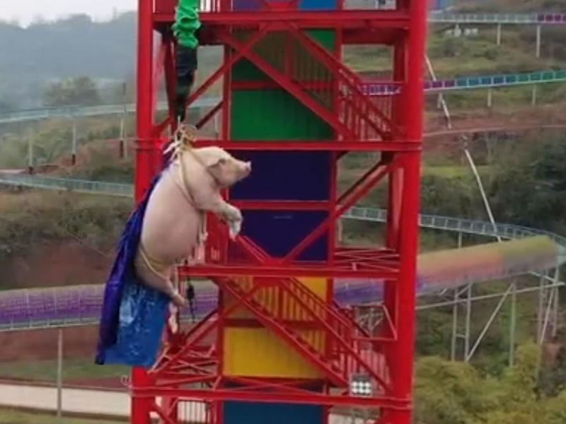 A 75kg pig was forced to bungee jump in a theme park in Chongqing, China: CCTV Network