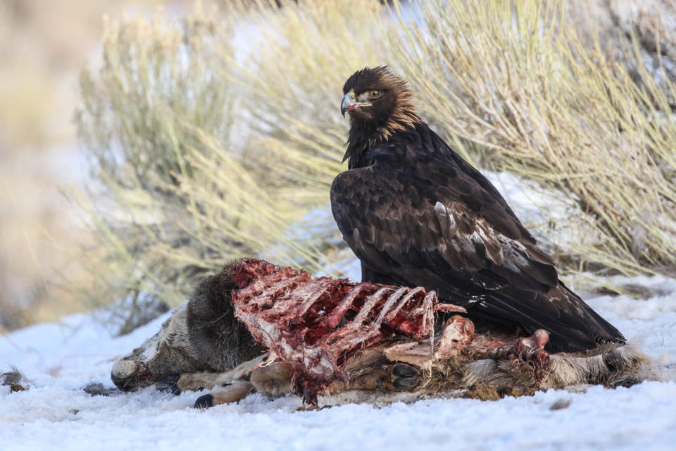 """This 2020 photo provided by Evan R. Buechley shows a golden eagle feeding on roadkill in Utah. Gerardo Ceballos, a bird scientist at the National Autonomous University of Mexico, says, """"The golden eagle is the national bird of Mexico, but we have very few golden eagles left in Mexico."""" A 2016 census estimated only about 100 breeding pairs remain in the country. (Evan R. Buechley via AP)"""