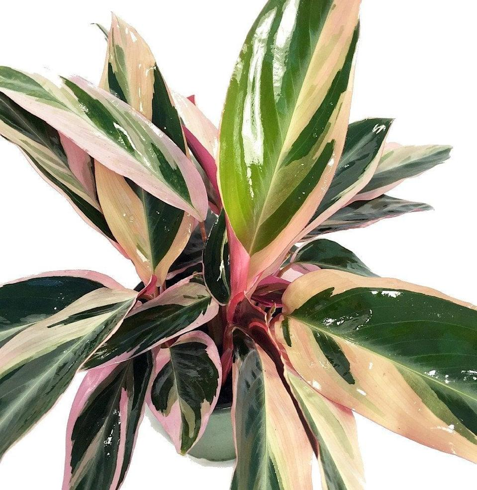 <p>The <span>Tradescantia Tricolour</span> ($26) has so many shades of pink, it's hard to count them all!</p>