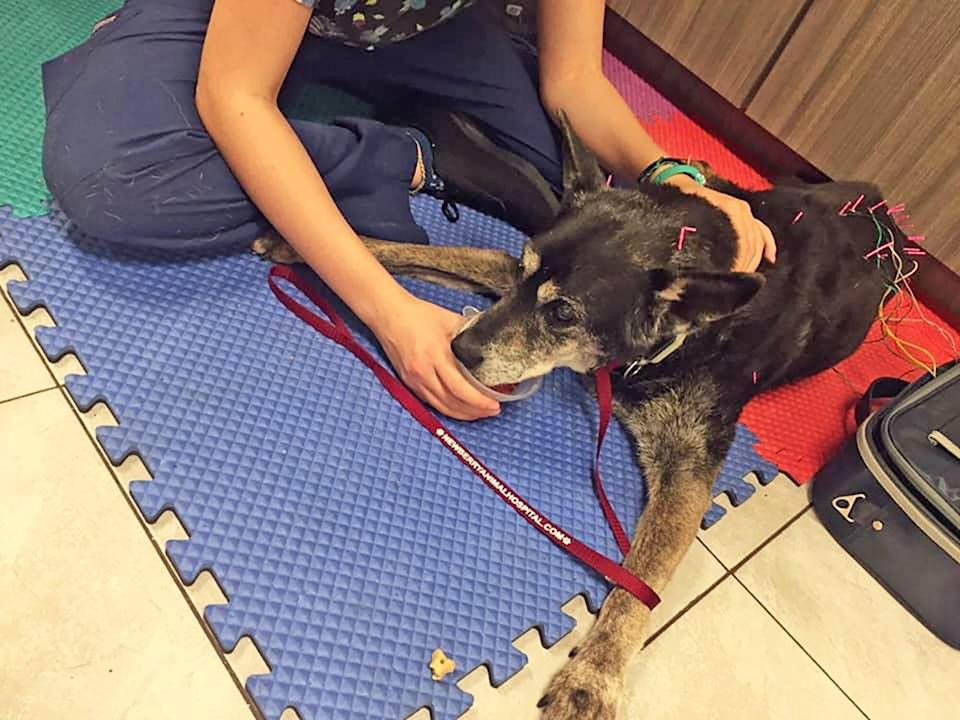 veterinarian practicing holistic care on a dog laying on rubber mat