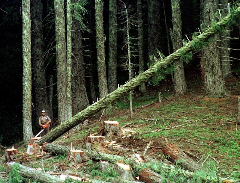 In this undated file photo, a large fir tree heads to the forest floor after it is cut by an unidentified logger in the Umpqua National Forest near Oakridge, Oregon. (ASSOCIATED PRESS)