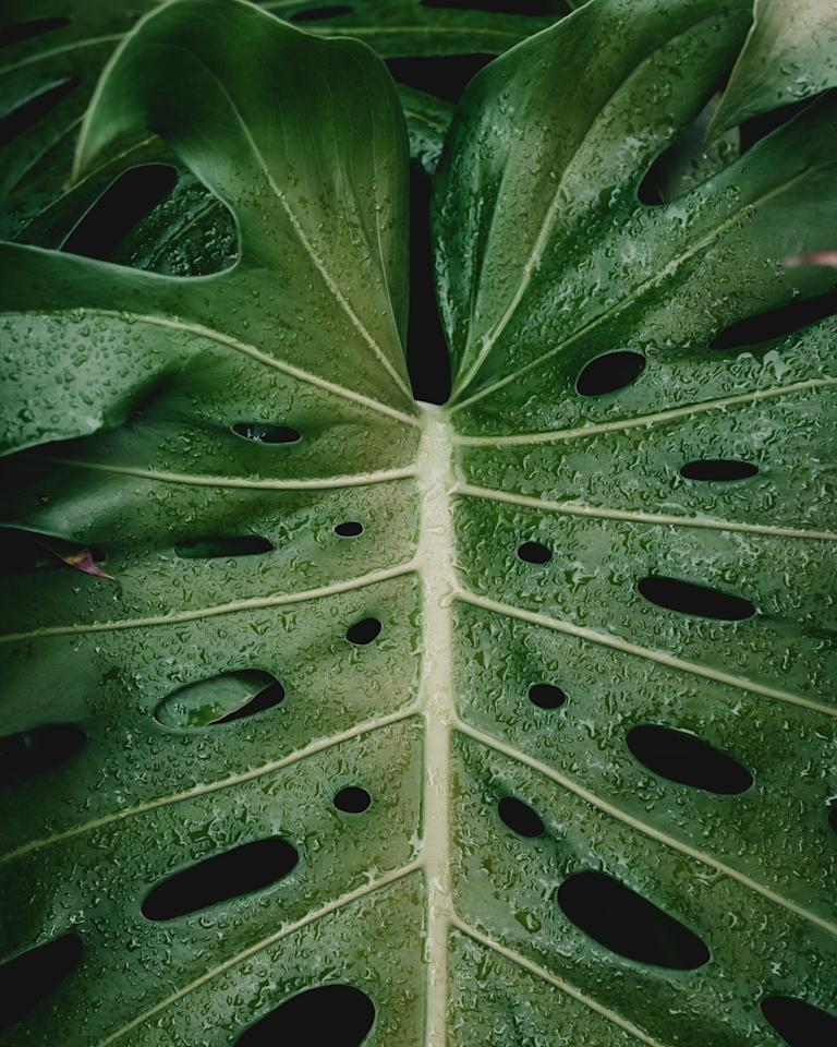 <p><strong>Justin Hancock:</strong> Indoors, the more light you can give your monstera, the better. It's a big plant, so it's not native to the deeply shaded rainforest floor like a lot of our favorite houseplants (Chinese evergreen, fittonia, snake plant, etc.). Monstera doesn't necessarily like direct sun inside, but it does want enough brightness that it casts a good shadow.</p>