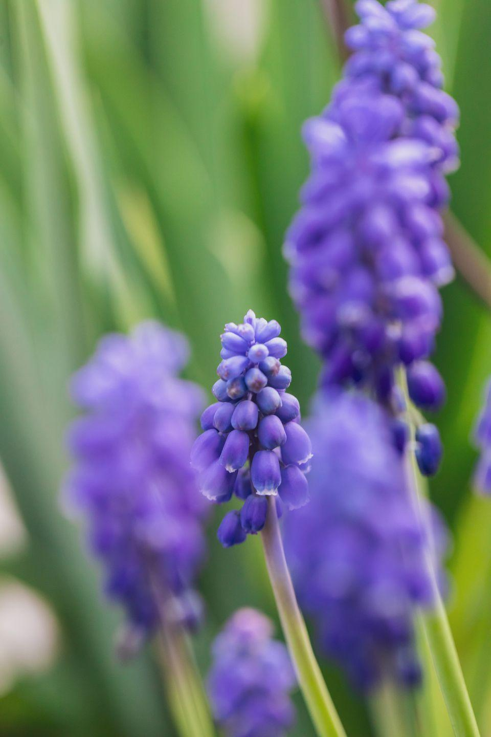 """<p>A tiny-but-mighty little bulb, grape hyacinth naturalizes readily, so you'll have more and more of these charming purple or white flowers every year. Their scent is slightly reminiscent of, yes, you guessed it: grapes! Plant in the fall for spring flowers and make sure they're in a spot where they'll get full sun.</p><p> <a class=""""link rapid-noclick-resp"""" href=""""https://www.amazon.com/15-Grape-Hyacinth-Muscari-Armeniacum/dp/B07PZ8NH8M/?tag=syn-yahoo-20&ascsubtag=%5Bartid%7C2164.g.35511393%5Bsrc%7Cyahoo-us"""" rel=""""nofollow noopener"""" target=""""_blank"""" data-ylk=""""slk:SHOP GRAPE HYACINTHS"""">SHOP GRAPE HYACINTHS</a></p>"""