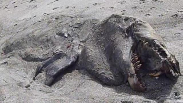 A mysterious sea beast has washed up on Pukehina beach in NZ. What could it be??