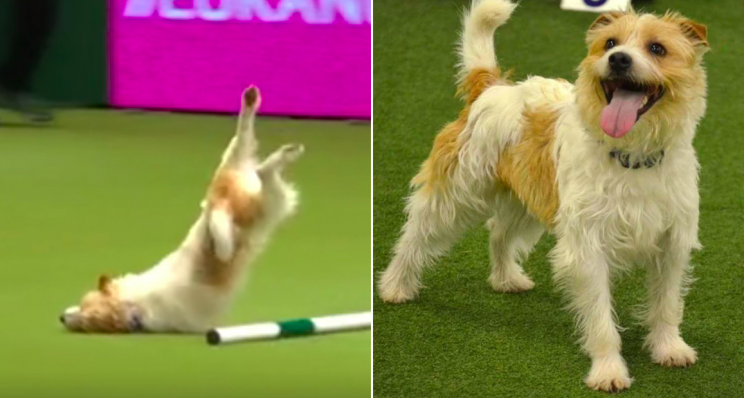 Olly stumbled, nosedived and skidded along the ground during the display at Crufts (Blue Cross)
