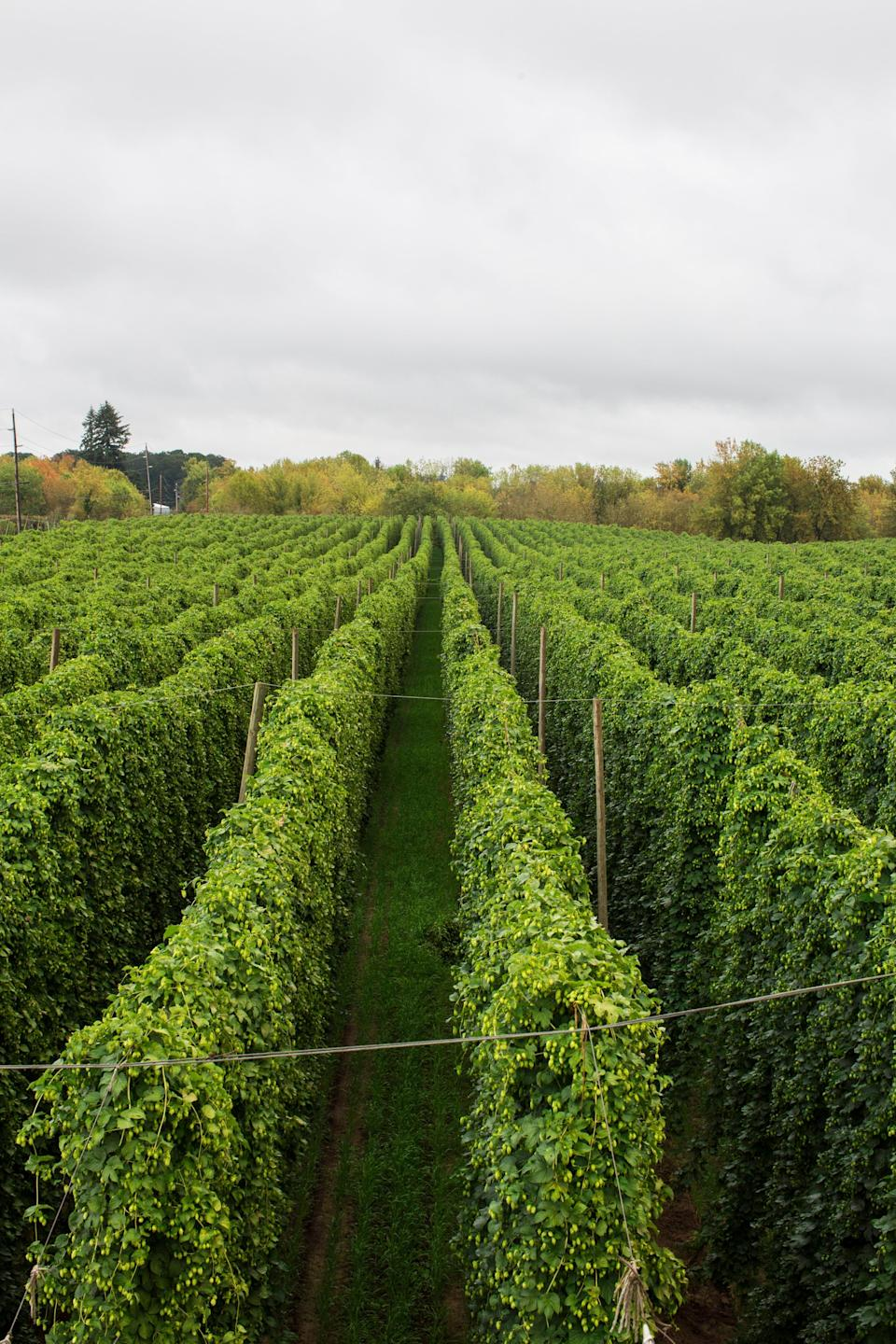 Crosby Hops of Woodburn, Oregon, is donating any profits from hops sold to make Rock On lager to Sweet Relief Musicians Fund, a charity founded in 1993 to help musicians in need.