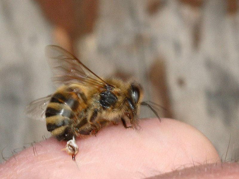 The barbed stinger of a honey bee is torn off and remains in the skin: Wikipedia commons