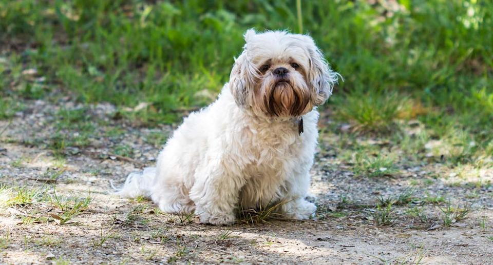One of the woman's dogs was a shih-tzu. Pictured is a file image of the breed.