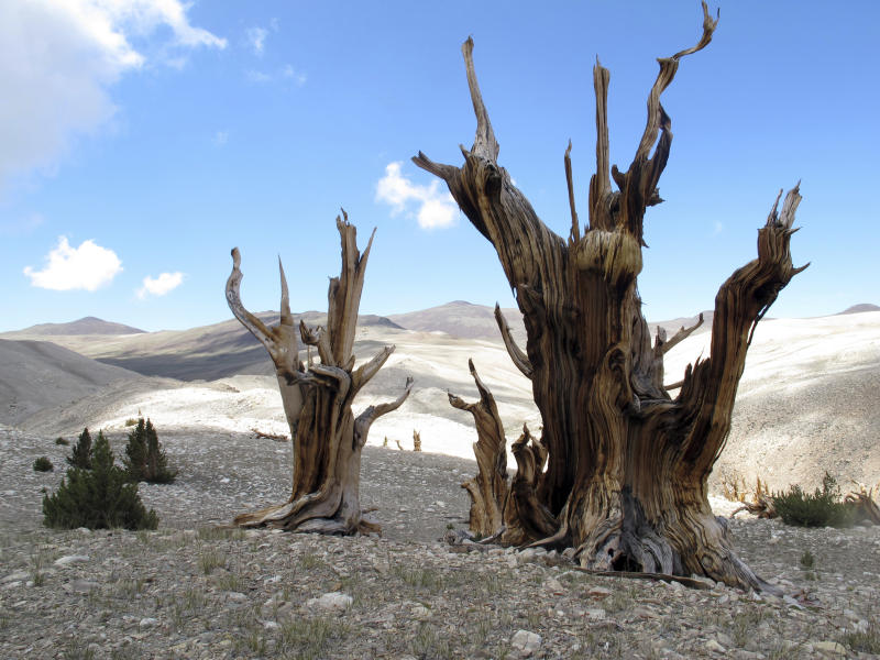 CORRECTS TO REMOVE REFERENCE TO DEAD TREES- This July 24, 2013, photo provided by Brian Smithers, shows gnarled, bristlecone pine trees standing with young limber pines growing around them in the White Mountains in east of Bishop, Calif. The bristlecone pine, a wind-beaten tree famous for its gnarly limbs and having the longest lifespan on Earth, is losing a race to the top of mountains throughout the Western United States, putting future generations in peril, researchers said Wednesday, Sept. 13, 2017. (Brian Smithers/University of California, Davis via AP)