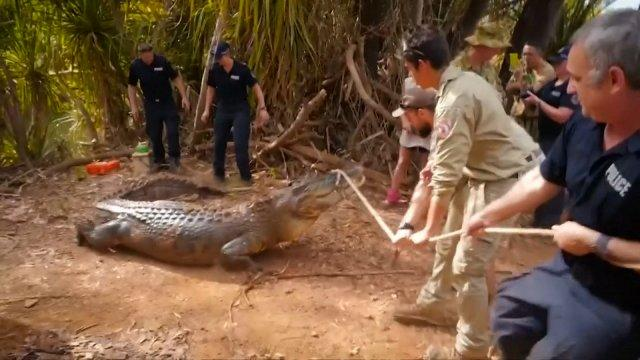 Large crocodile captured in Australia