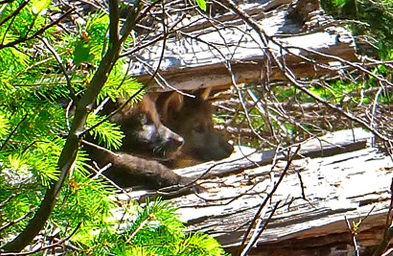 FILE PHOTO: Two of wolf OR 7's pups peek out from a log on the Rogue River-Siskiyou National Forest in this handout photo
