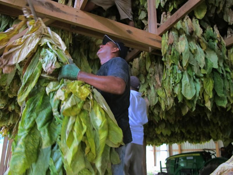 Workers hang burley tobacco in a barn for curing on Thursday, Aug. 9, 2012, on a farm near Finchville, Ky. For burley tobacco farmers in Kentucky and Tennessee, an average crop being forecast is a big relief. A few weeks ago, the crop was on the brink of ruin from extreme heat and drought. Now, tobacco specialists say much of the burley has gone through a growth spurt, thanks to recent rains. (AP Photo/Bruce Schreiner)