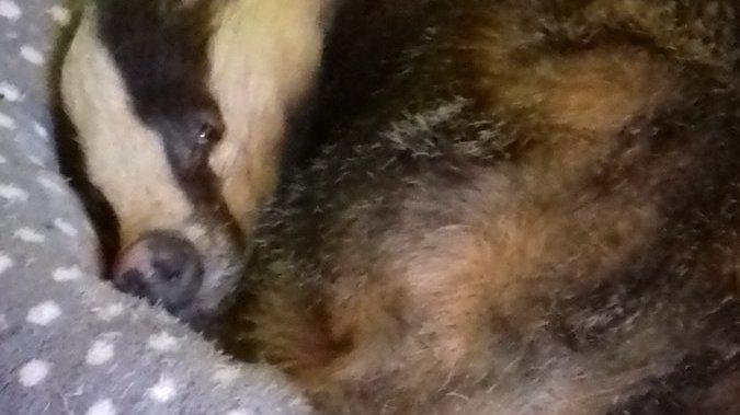 Wild Badger Sneaks Into Home, Impersonates Family Cat