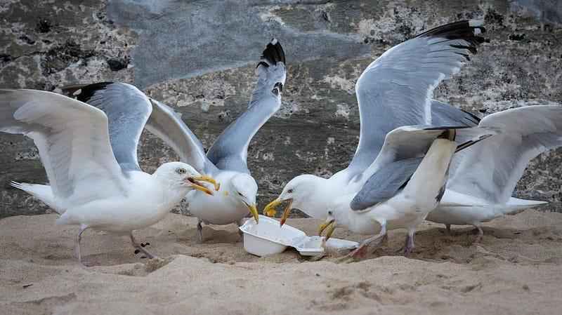 Seagulls feasting on styrofoam containers on a beach
