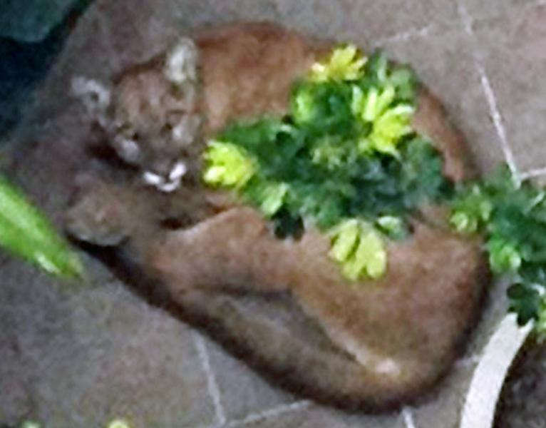 This image provided by the Santa Monica Police Department shows a mountain lion cornered Tuesday May 22, 2012 in Santa Monica, Calif. After efforts to tranquilize the animal failed, officers were forced to kill the animal to prevent it from escaping onto the streets. (AP Photo/Santa Monica Police Department)