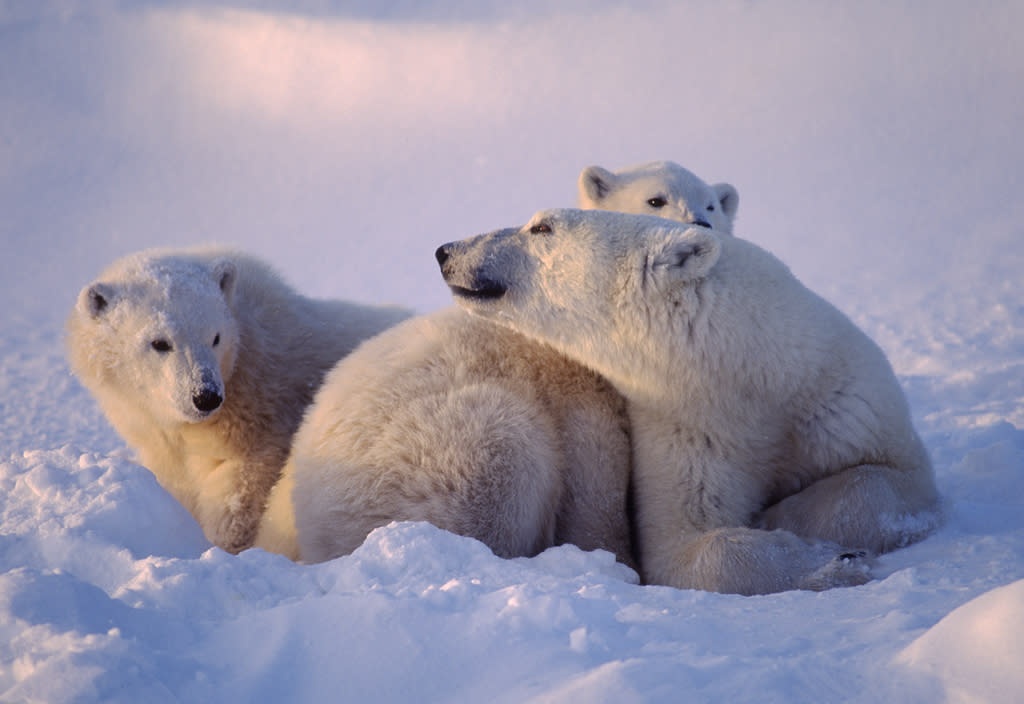 <b>Polar Bear</b> (Ursus maritimus)<br>Canadian Arctic<br><br>At birth, a polar bear cub is a foot long and weighs about one pound. A full-grown male polar bear will top the scales at 1,700 pounds.