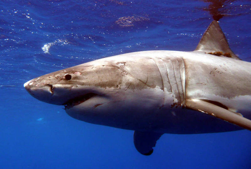 A Great White shark is pictured in the Eastern North Pacific in this undated handout photograph