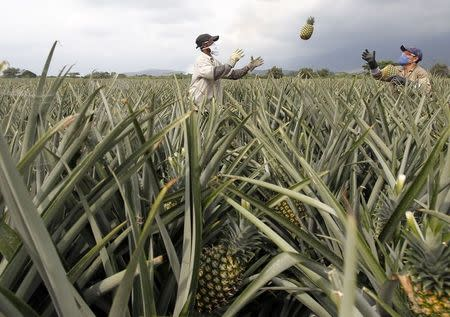 File photo of men working on a crop of pineapples in Pradera