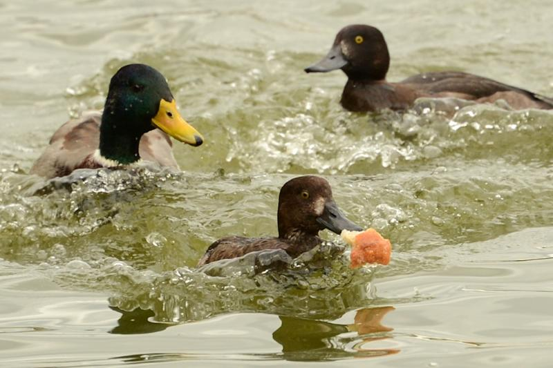 "A man was whacked with the bird while he filmed the annual ""duck chase"" in the Catalonian seaside town of Roses, where every August ducks are thrown into the Mediterranean and then caught and brought back to the shore by swimmers (AFP Photo/Kirill Kudryavtsev)"