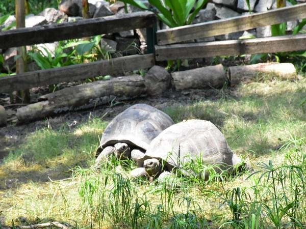 The Al-Dabra tortoise at the Nehru Zoological Park  in Hyderabad.