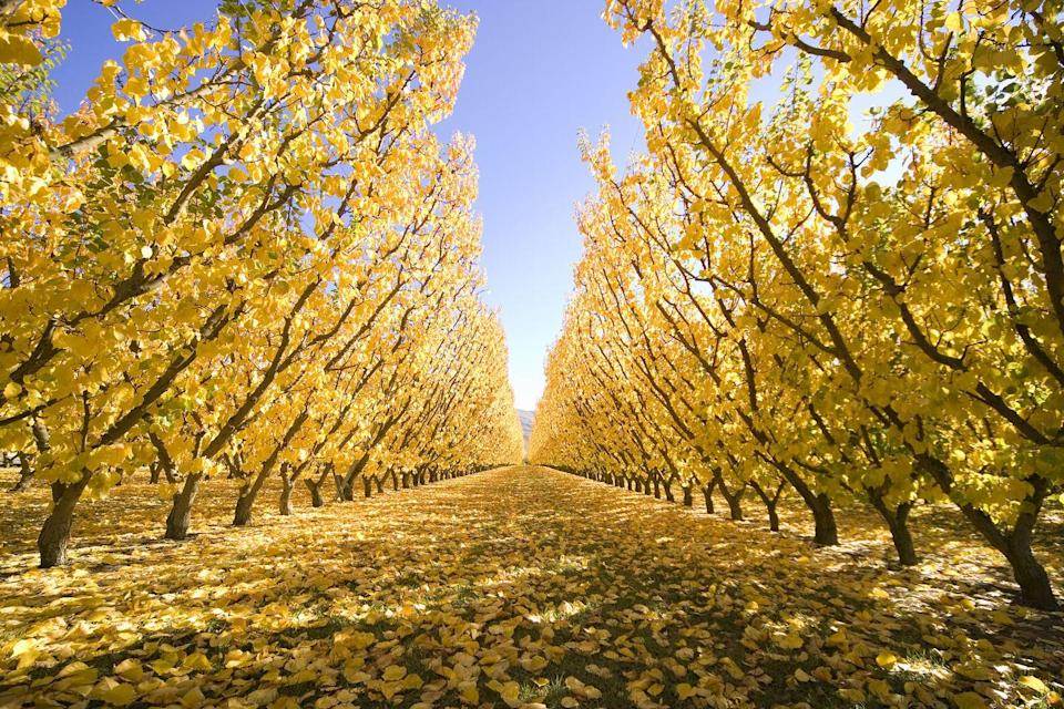 <p>This apple orchard in Cromwell, South Island (pictured here in autumn) is our new happy place.</p>