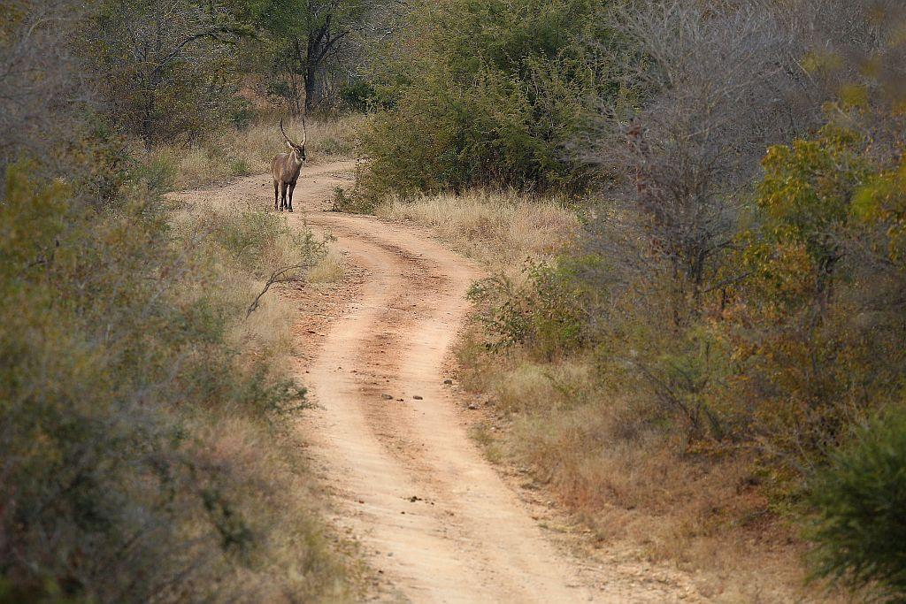 A waterbuck walks down a trail in Edeni Game Reserve, a 21,000 acre wilderness area with an abundance of game and birdlife located near Kruger National Park in South Africa.