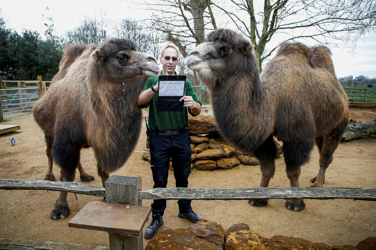 A zookeeper interacts with camels during the annual stocktake at ZSL London Zoo in London, Britain, January 2, 2020. REUTERS/Henry Nicholls     TPX IMAGES OF THE DAY