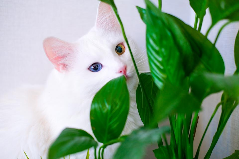 White cat with different color eyes hides behind a green plant. Turkish angora eats peace lily green leaves in living room. Domestic pets and houseplants.