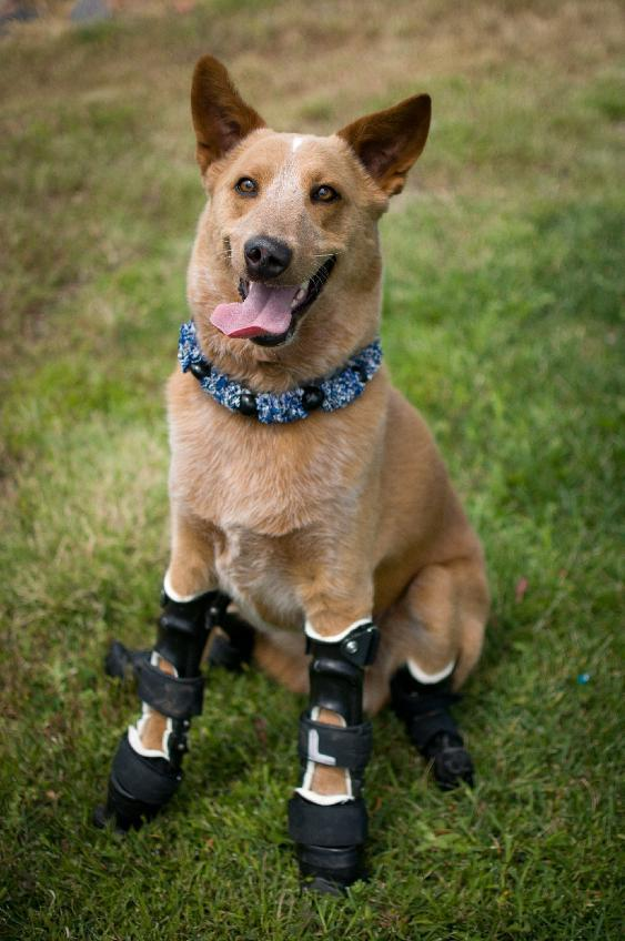 In this August 26, 2011 photo provided by OrthoPets, shows Naki'o, a red heeler mix breed, the first dog to receive four prosthetic limbs at Denver, Colo. Naki'o was found in the cellar of a Nebraska foreclosed home with all four legs and its tail frozen in puddles of water-turned-ice. What frostbite didn't do, a surgeon did, amputating all four legs and giving him four prosthetics. (AP Photo/OrthoPets, Lindsey Mladivinich)