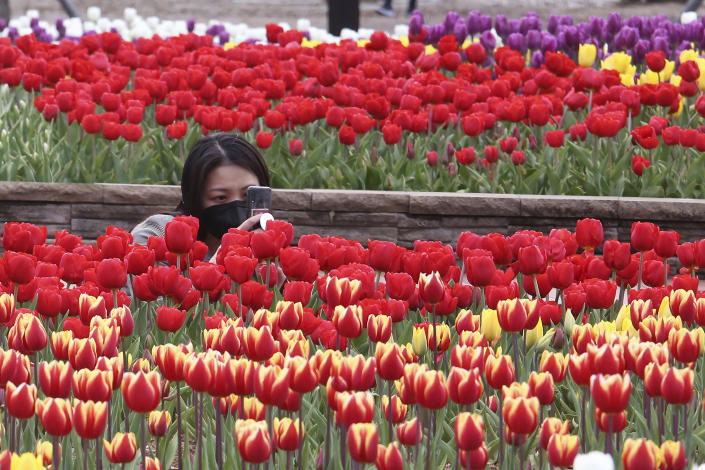 A woman wearing a face mask as a precaution against the coronavirus takes pictures of tulips at a park in Goyang, South Korea, Tuesday, April 13, 2021. (AP Photo/Ahn Young-joon)