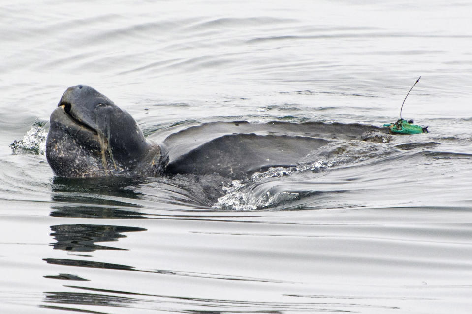 In this July 5, 2017, photo provided by Kate Cummings, is a leatherback turtle swimming in the Pacific Ocean near Moss Landing, Calif. All seven distinct populations of leatherbacks in the world are troubled, but a new study shows an 80% population drop in just 30 years for one extraordinary sub-group that migrates 7,000 miles across the Pacific Ocean to feed on jellyfish in cold waters off California. Scientists say international fishing and the harvest of eggs from nesting beaches in the western Pacific are to blame. (Kate Cummings via AP)