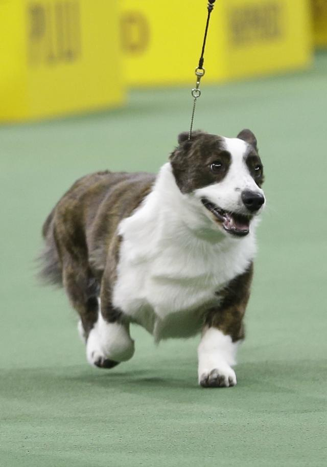 Coco, a cardigan welsh corgi, competes with other dogs in the Herding group during the 138th Westminster Kennel Club dog show Monday, Feb. 10, 2014, in New York. Coco won the group. (AP Photo/Frank Franklin II)