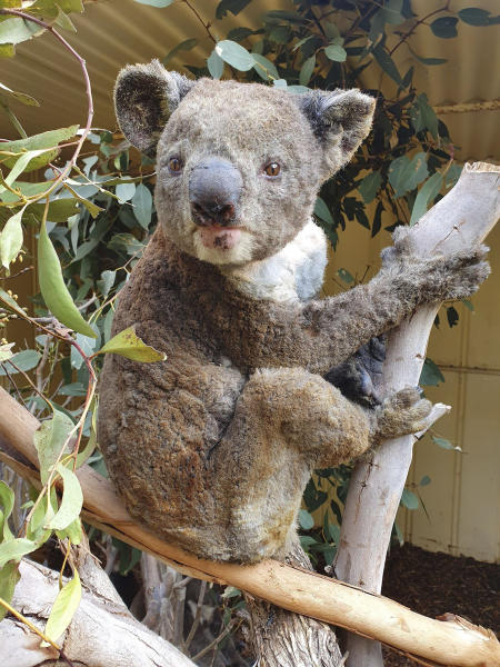 "FILE - This early January 2020 photo provided by Dana Mitchell from the Kangaroo Island Wildlife Park shows a rescued koala injured in a bushfire in Kangaroo Island, South Australia. Mathew Crowther, an ecologist at the University of Sydney, says, ""Koalas won't go extinct in the next few years, but if their habitat is destroyed bit by bit, it could eventually be death by a thousand cuts. We have to look at long-term trends _  what will the temperatures and wildfires be like in the future?"" (Dana Mitchell/Kangaroo Island Wildlife Park via AP)"