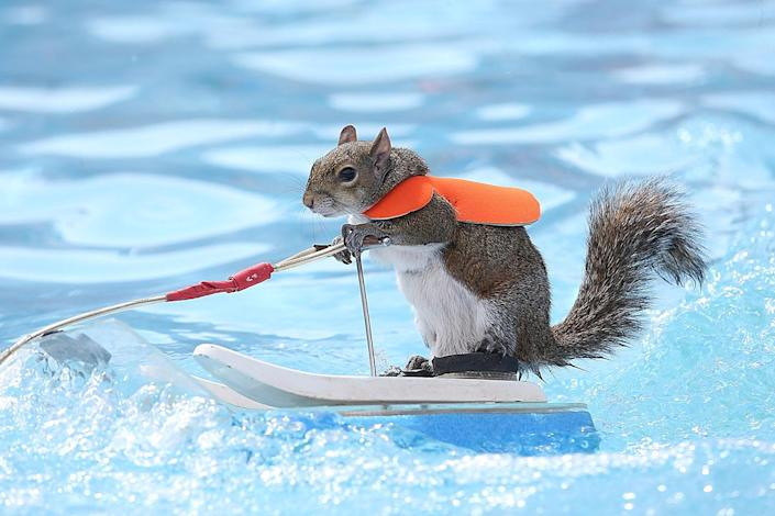 <p>Twiggy the water skiing squirrel performs during the X Games at Circuit of The Americas on June 3, 2016 in Austin, Texas. (Gary Miller/Getty Images) </p>