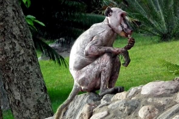 Ever seen a bald baboon? You have now!