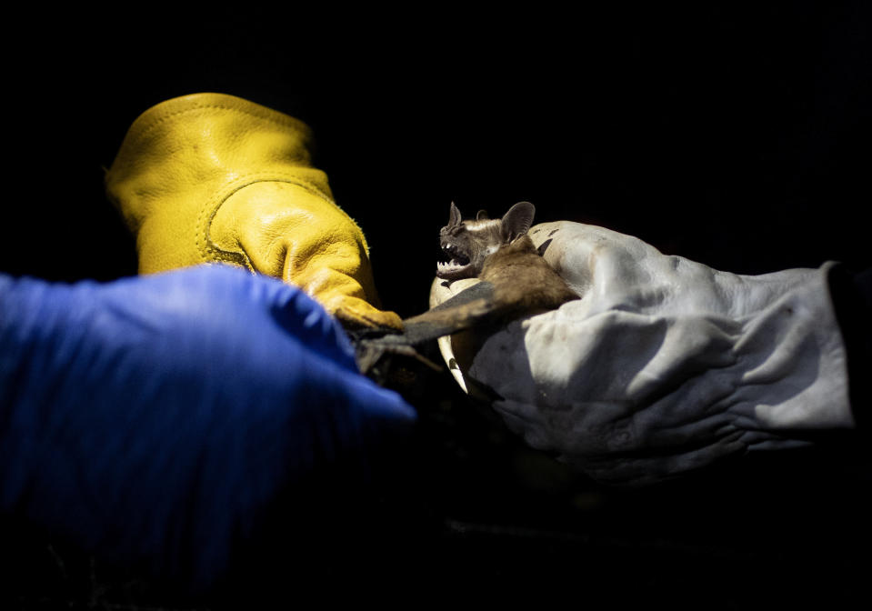 Researchers from Brazil's state-run Fiocruz Institute shine a light on a bat they captured in the Atlantic Forest during a nighttime outing in Pedra Branca state park, near Rio de Janeiro, Tuesday, Nov. 17, 2020. The outing was part of a project to collect and study viruses present in wild animals — including bats, which many scientists believe were linked to the outbreak of COVID-19. (AP Photo/Silvia Izquierdo)