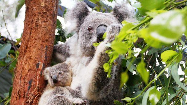 PHOTO: A Koala joey is comforted by its mother in Sydney, Australia, March 2, 2021. (Lisa Maree Williams/Getty Images, FILE)