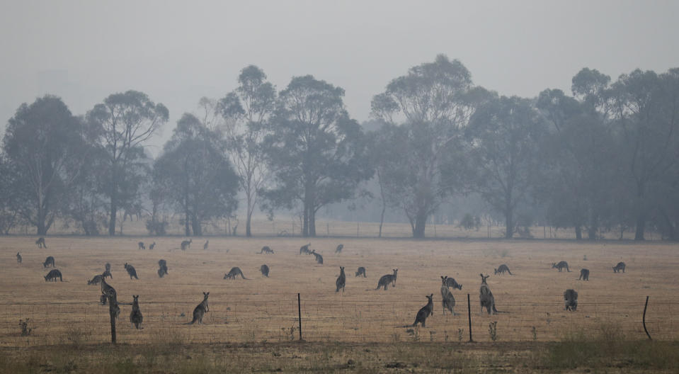 Kangaroos graze in a field as smoke shrouds the Australian capital of Canberra, Australia, Wednesday, Jan. 1, 2020. Australia deployed military ships and aircraft to help communities ravaged by apocalyptic wildfires that destroyed homes and sent thousands of residents and holidaymakers fleeing to the shoreline. (AP Photo/Mark Baker)