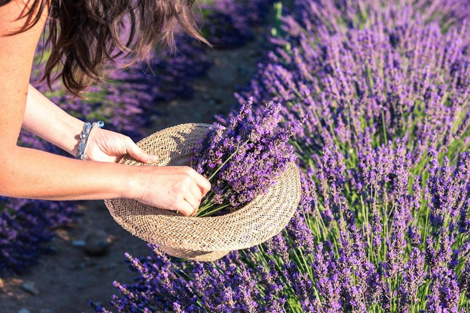 Woman picking up lavender flowers