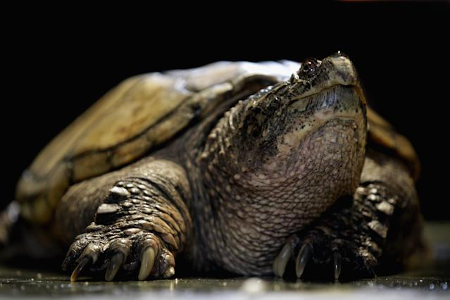 A school's pet snapping turtle (not pictured) reportedly ate a live puppy. (Photo: Dan Kitwood/Getty Images)