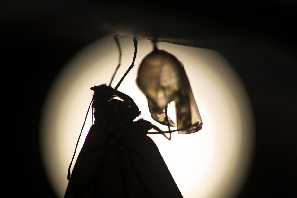 A monarch butterfly is silhouetted suspended near its empty chrysalis soon after emerging in Washington, Sunday, June 2, 2019. Farming and other human development have eradicated state-size swaths of its native milkweed habitat, cutting the butterfly's numbers by 90% over the last two decades. It is now under considered for listing under the Endangered Species Act. (AP Photo/Carolyn Kaster)