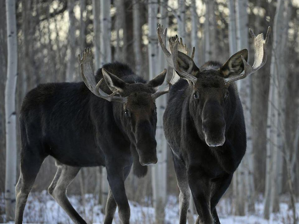 "<p>In the city of Fairbanks, AK, <a href=""https://www.saucemagazine.com/a/696"" rel=""nofollow noopener"" target=""_blank"" data-ylk=""slk:feeding any alcoholic beverage to a moose is a very serious offense"" class=""link rapid-noclick-resp"">feeding any alcoholic beverage to a moose is a very serious offense</a>. Probably best to keep large, wild animals sober, anyway.</p>"