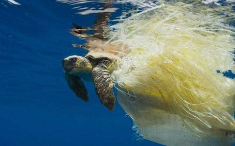 Turtles often die after becoming entangled in discarded or lost fishing nets  - Credit: BBC Blue Planet II