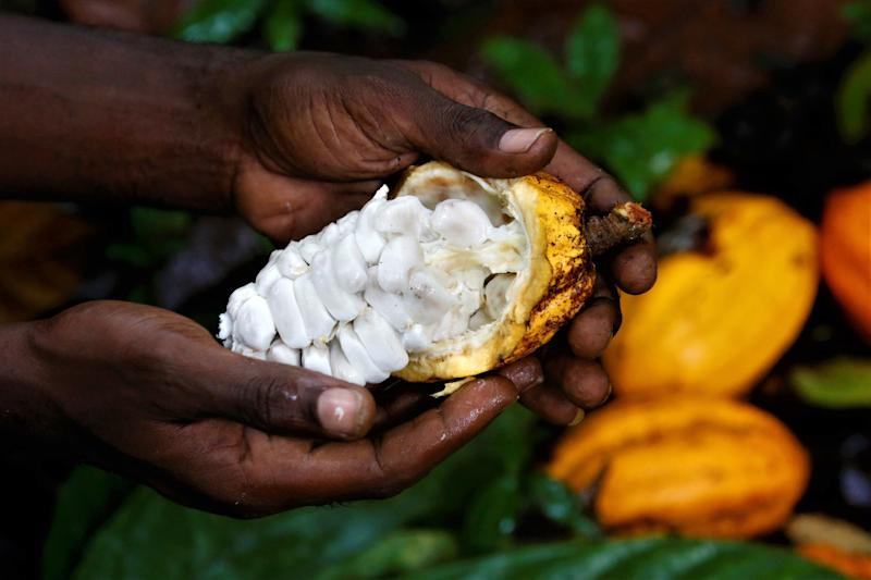 A worker shows the inside of a cocoa pod on a farm in Alepe, Ivory Coast. (Photo: Thierry Gouegnon for HuffPost)