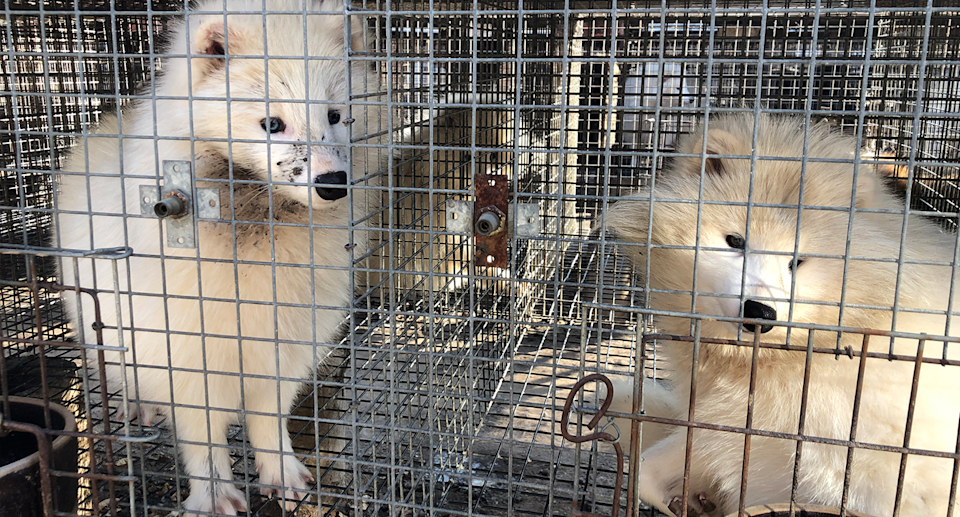 Animal welfare groups have criticised the traceability of fur products imported into Australia. Source: HSI