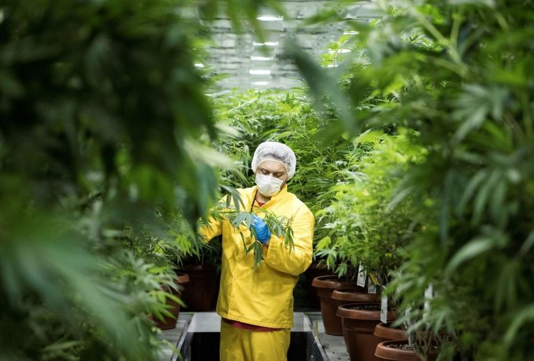 North Macedonia legalised the cultivation and sale of marijuana-derived medical products in 2016, but an ill-defined law has left the sector in limbo