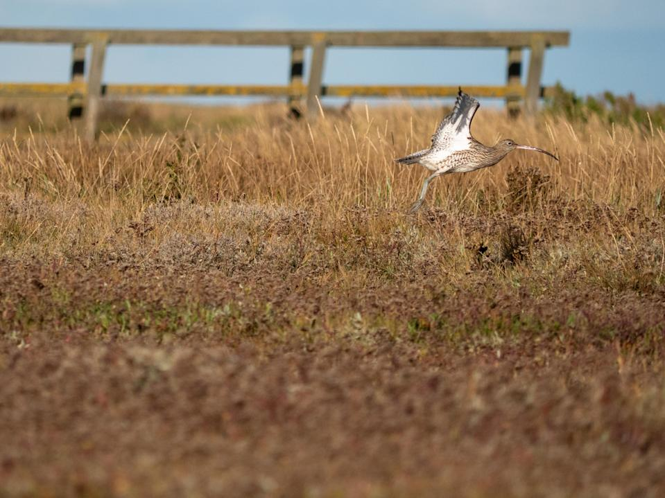 Curlew, another species which it is hoped will benefit from the new wetland (Rob Coleman/National Trust/PA)