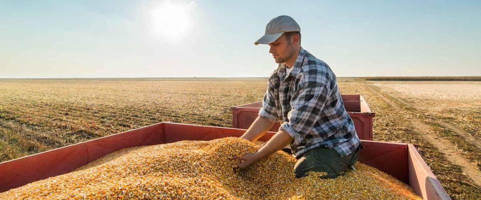 Young farmer looking at corn grains in tractor trailer after harvest
