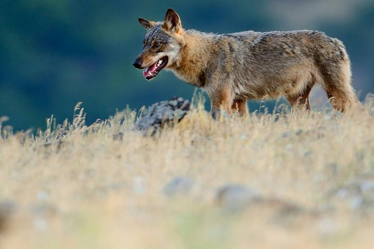 Handout photo from Rewilding Europe shows an Eurasian grey wolf (Canis lupus) walking at a vulture watching site in the Madzharovo valley, Bulgaria (AFP Photo/Staffan WIDSTRAND)