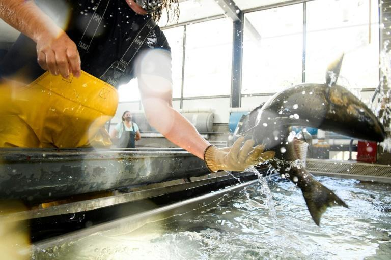 """California's fish and wildlife department have taken """"the proactive measure of trucking millions of hatchery-raised"""" juvenile salmon to the sea"""